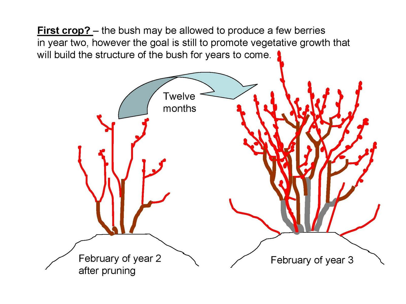 Young Blueberry Bushes Are Usually Planted In Late Winter While Fully Dormant And Leafless In No Blueberry Plant Blueberry Gardening Pruning Blueberry Bushes