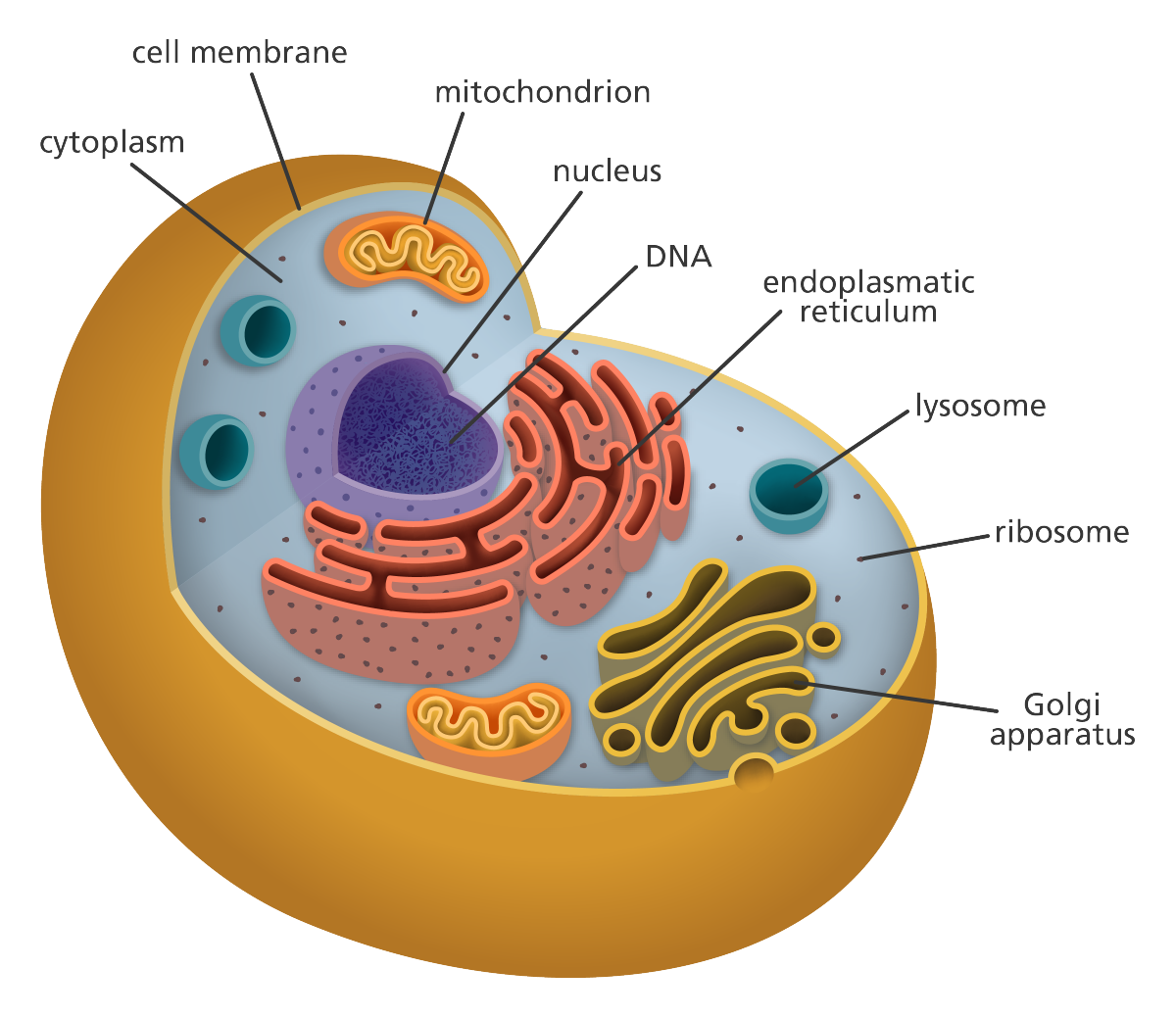 hight resolution of 3d animal cell project cell model project animal projects human cell structure