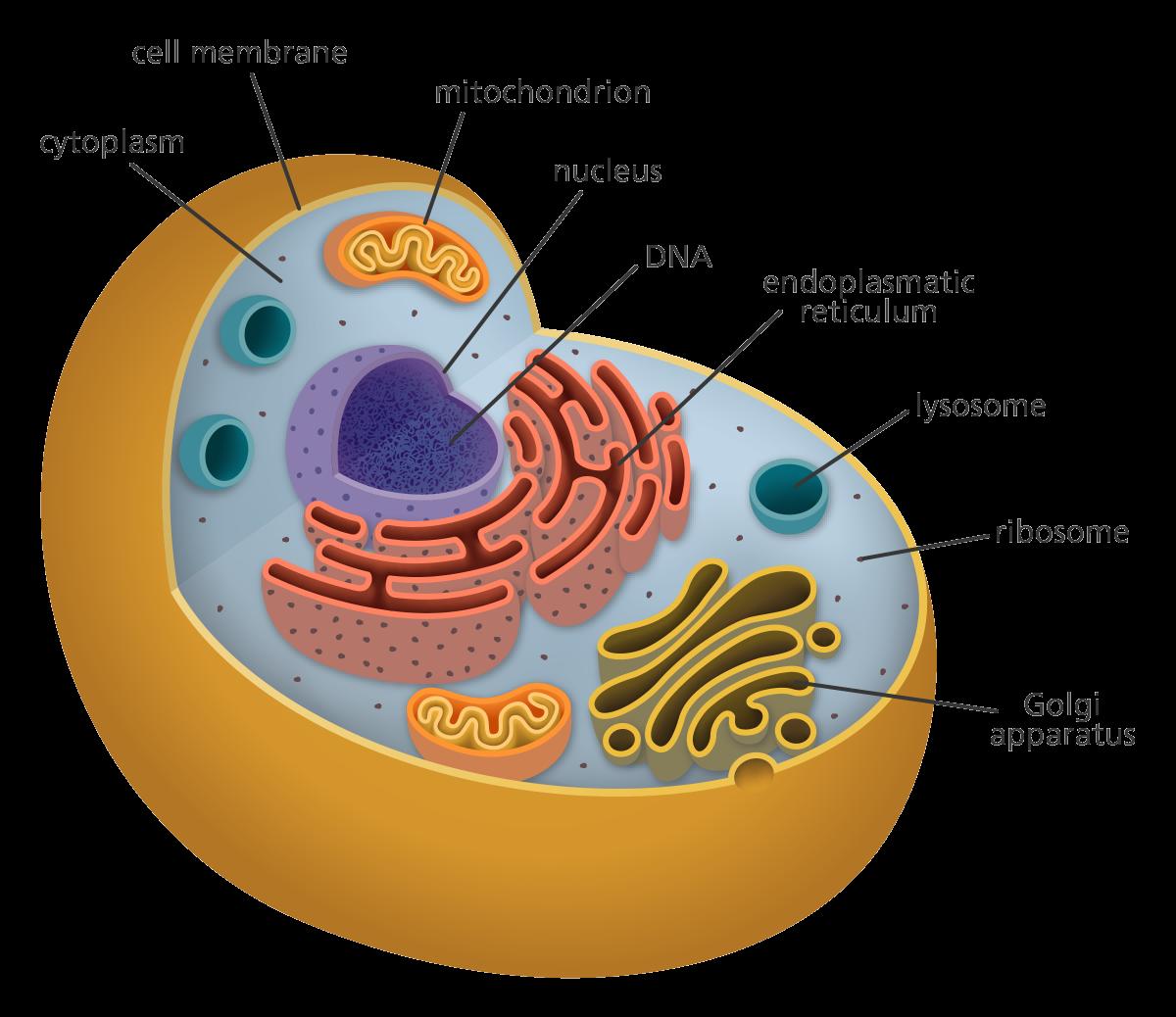 medium resolution of 3d animal cell project cell model project animal projects human cell structure