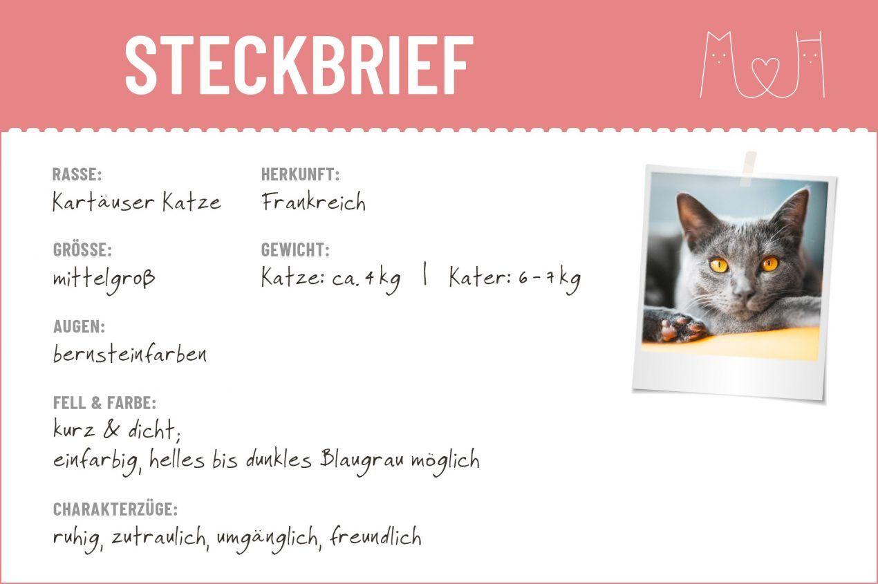 Kartäuser Katze Steckbrief Mein Haustier Katze