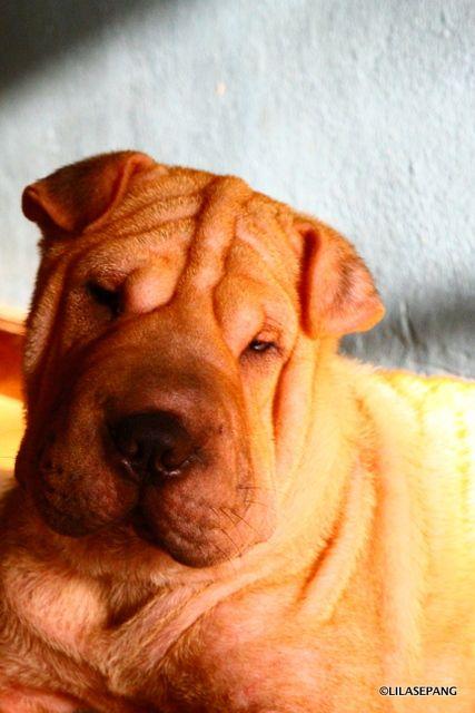 My Dearest Female Sharpei Named Sawmai Puppy Names Puppies Puppy Find