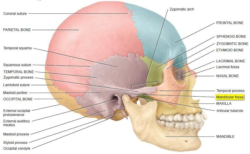 Mandibular fossa is a section in the temporal bone of your skull. It ...