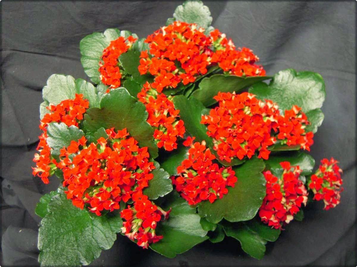 Kalanhoe je biljka iz porodice tustika ili sukulenata, koja posljednjih  godina sve više osvaja tržište. Iznad … | Kalanchoe flowers, Kalanchoe  blossfeldiana, Plants