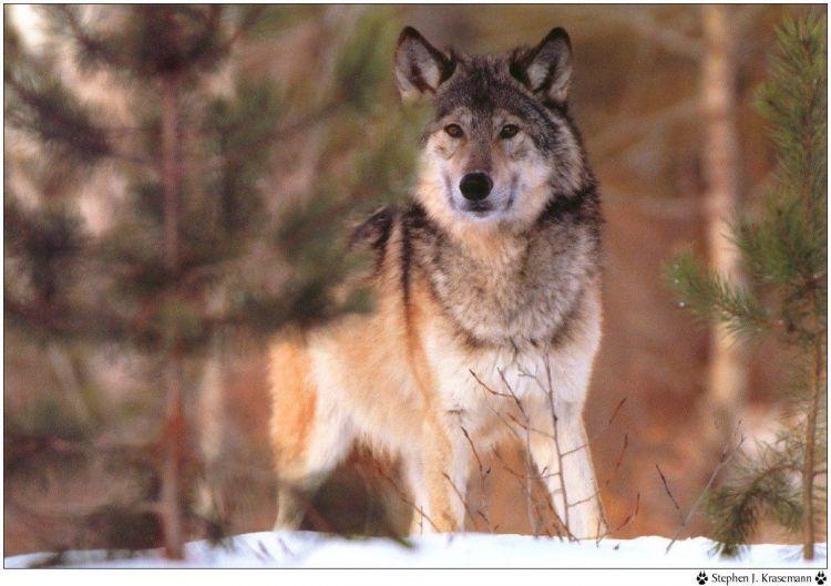 Fonds D Ecran Animaux Fonds D Ecran Loups Wallpaper N 38951 Par Hebus Hebus Com Photographie Loup Loup Animaux
