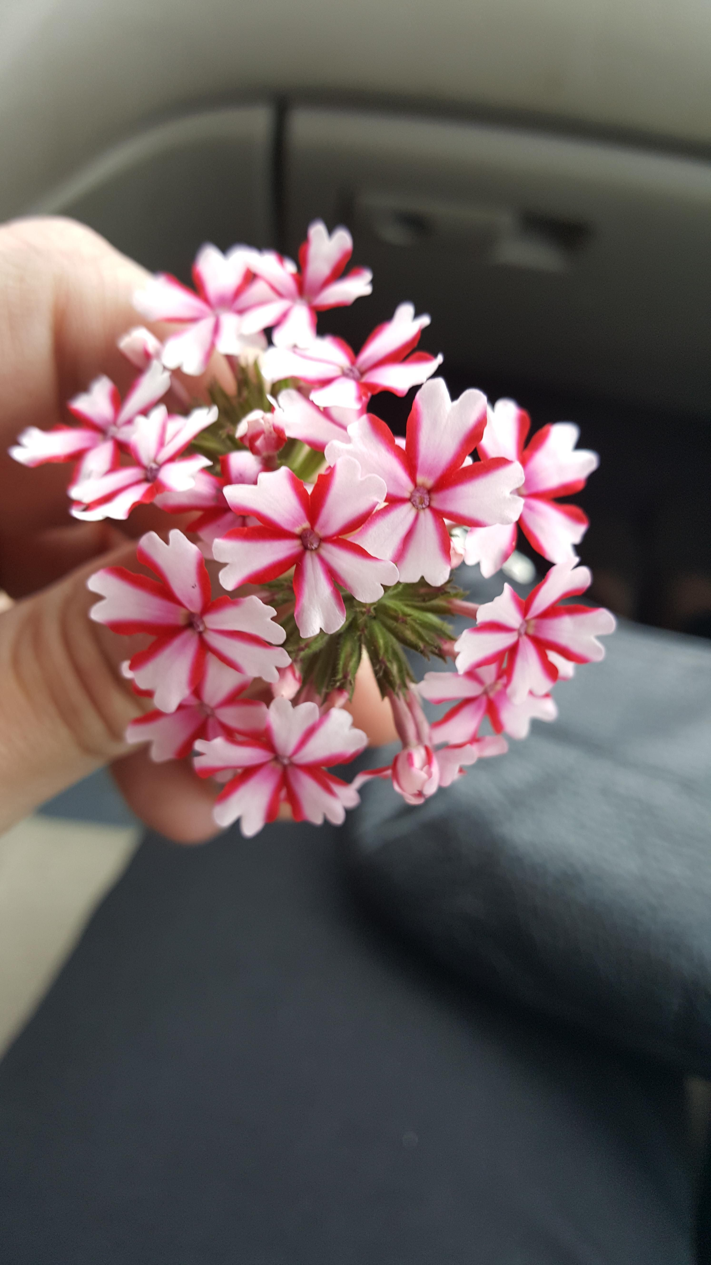 Can Anyone Tell Me What These Cute Little Flowers Are I Believe