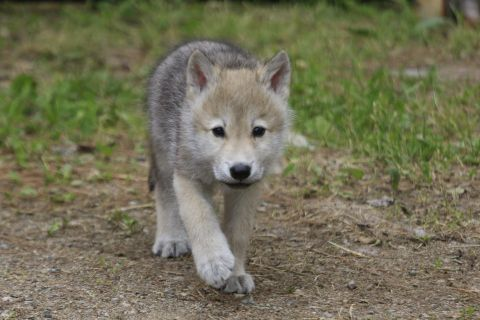 Name These Adorable Wolf Pups And Win A Chance To Meet Them In