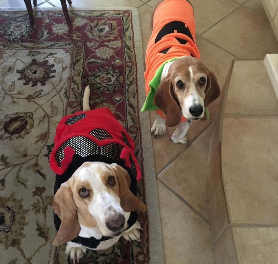 40+ Funny Basset Hounds in Halloween Costumes Dog