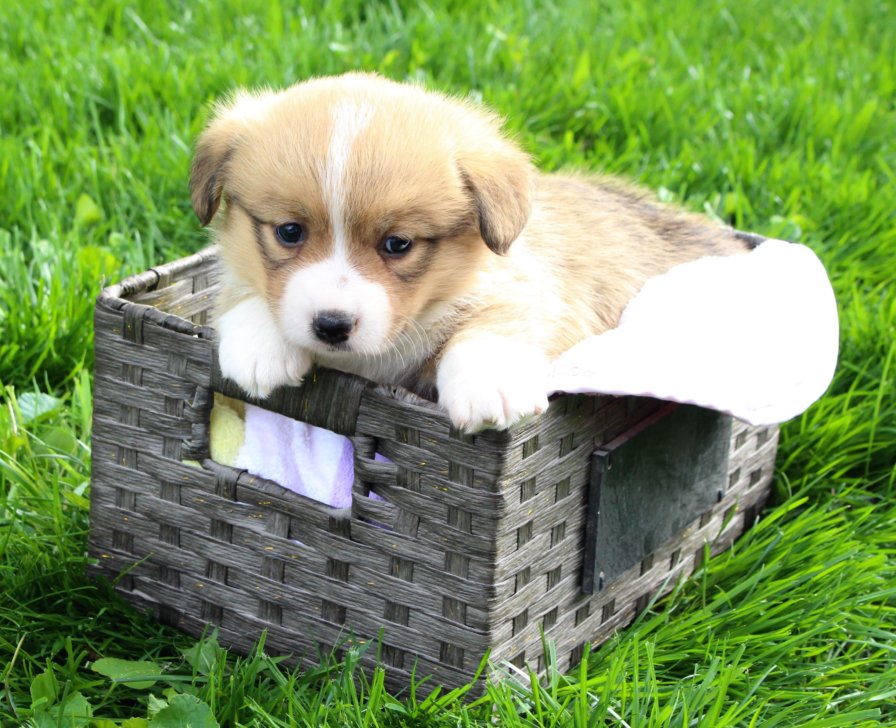Meet Max Akc Male Corgi Puppy Dm Free Harlan Indiana Find Cute Pembroke Welsh Corgi Puppies Dogs And Breeders At Corgi Pembroke Welsh Corgi Corgi Puppy