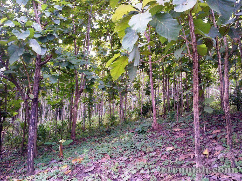 Investasi Dahsyat Kebun Jati Plants Farmland Outdoor