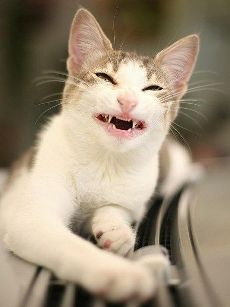 Cute Cat With A Funny Smile Funny Cats Smiling Animals Funny Cute Cats