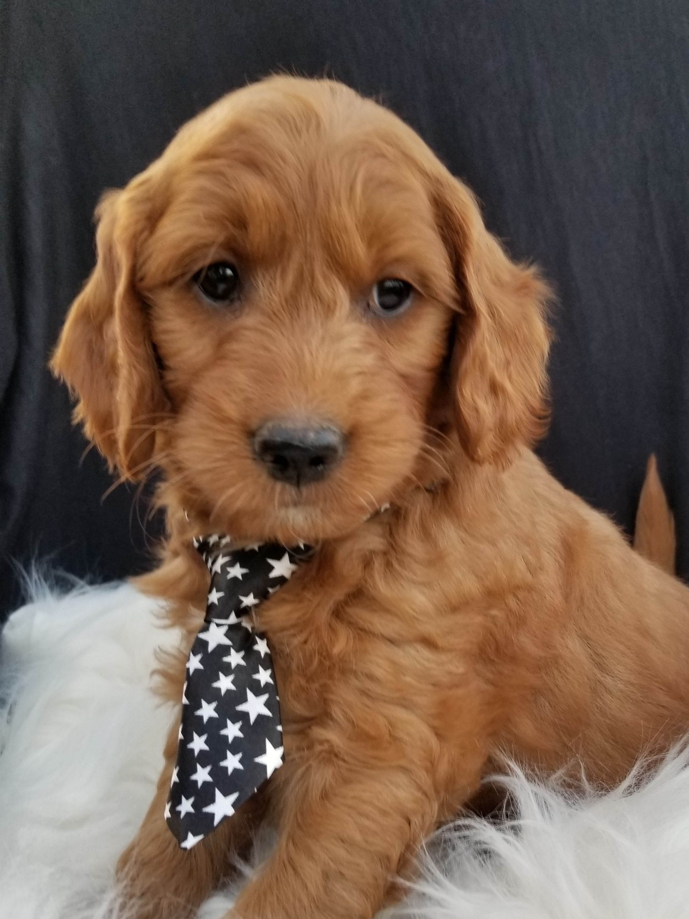 Puppies for Sale Mini goldendoodle puppies, Puppies for