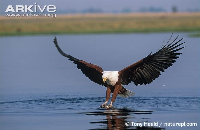 African Fish Eagle Photo Haliaeetus Vocifer G33856 Arkive Animal Hunting Animals Hunting Photography