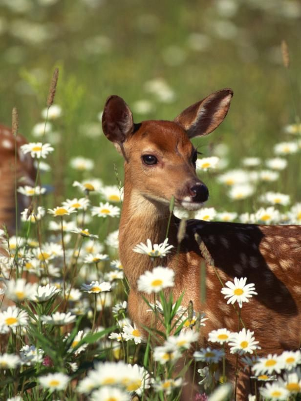 Learn how to keep deer from destroying your landscape and backyard garden.