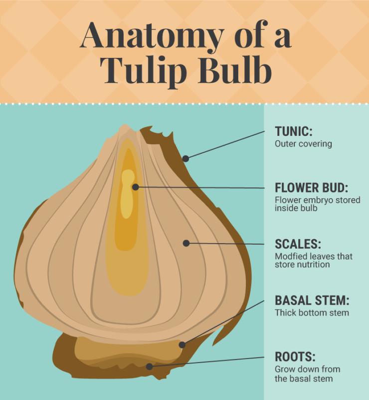 Growing Bulbs Indoors Fix X The Sill Growing Bulbs Tulip