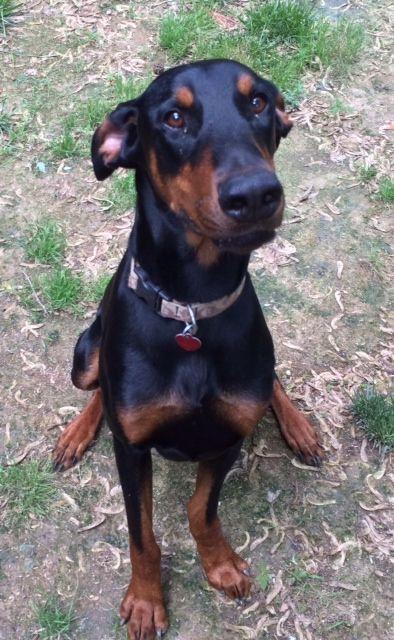 Adopt Mason On Doberman Doberman Pinscher Doberman Dogs