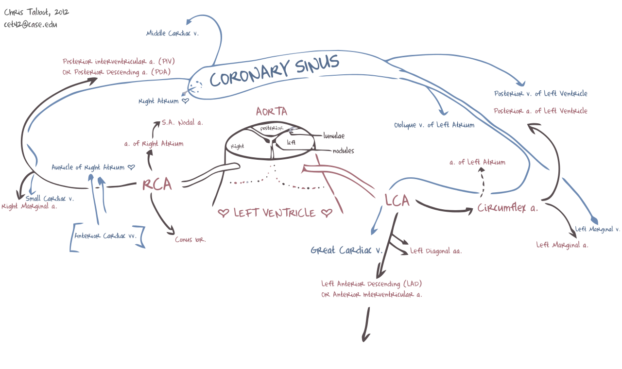 Schematic diagram of the coronary arteries and veins cardiac schematic diagram of the coronary arteries and veins pooptronica Images