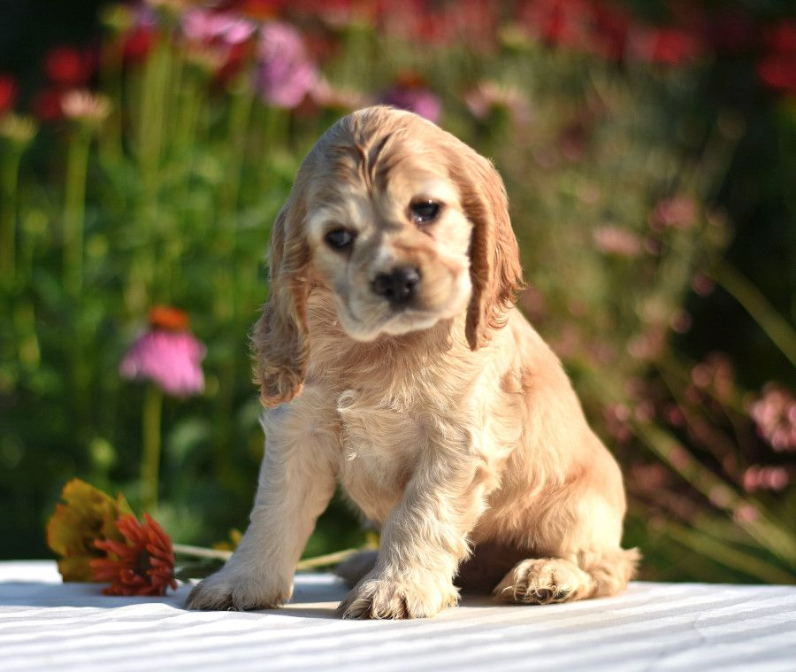 Lovable Lil Charmers Cockerspaniel Pups Are Sweet And Are Sure To Brighten Your Day With Their Friendl In 2020 Cocker Spaniel Puppies Puppies Spaniel Puppies