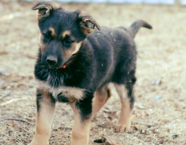 Have You Been Thinking About Adopting A German Shepherd This Is Your Sign Click Here To Find Out German Shepherd Breeders German Shepherd Puppies