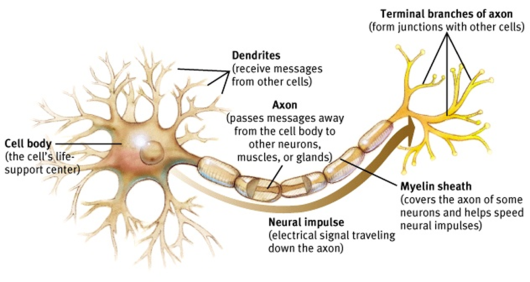 Posts About Neuron On Biologywedscomputer Neuron Structure And Function Nerve Cell Structure Neuron Structure