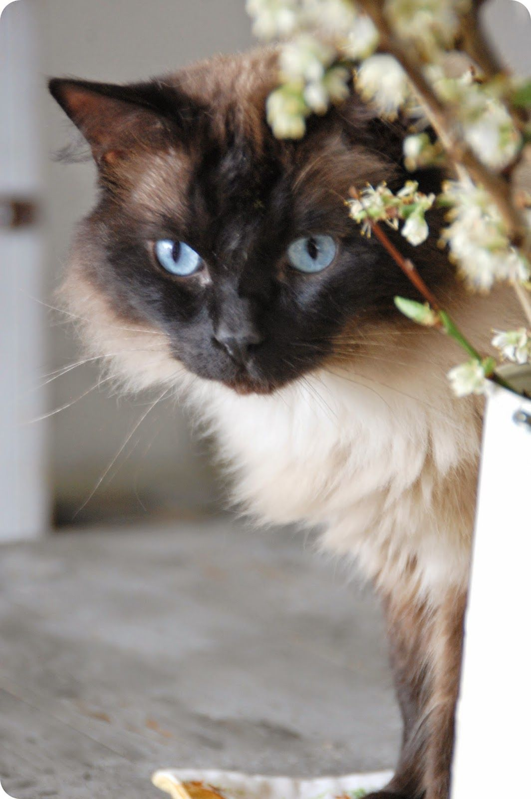 This is what my cat looks like Sheba, she's so beautiful!!