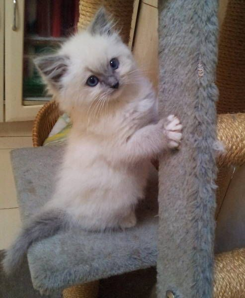 blue cream rag doll, kitten. Had one of theses for over 10