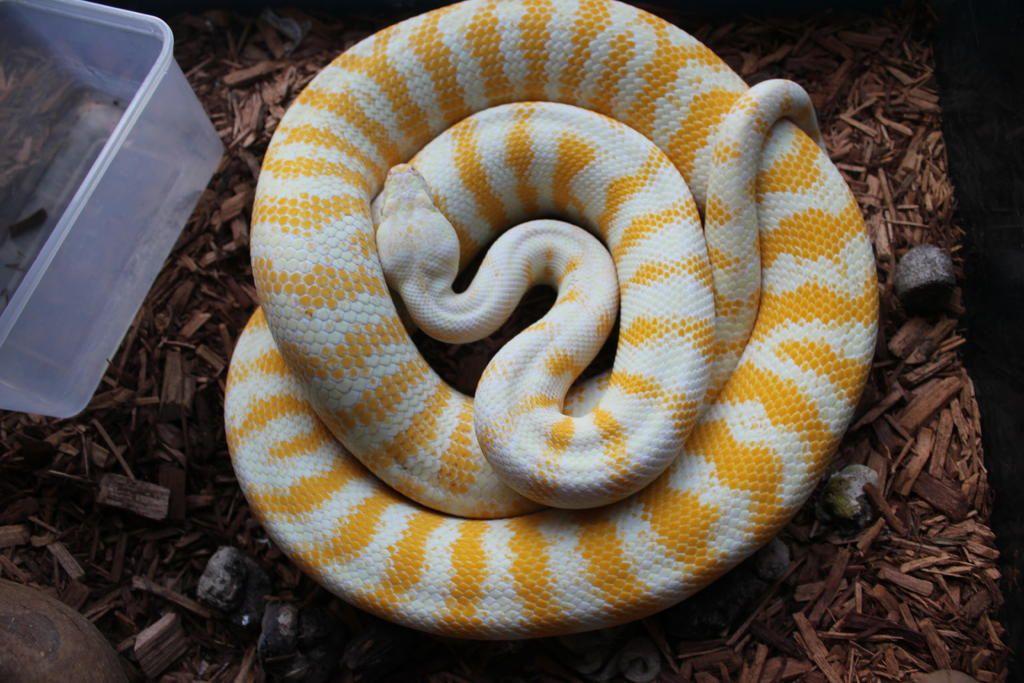 How Big Do Darwin Carpet Pythons Grow Home Plan
