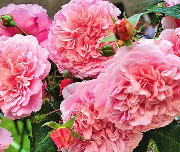 роза де толбиак от кордеса фото купоны используйте для