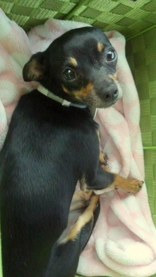 Adopt Lilly On Chihuahua Dogs Dogs Mini Pinscher