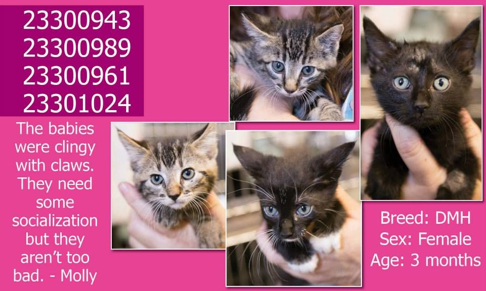 **Fort Worth, TX** CURRENT STATUS: Must be tagged for adoption or rescue by 3pm on 07/15/14**  Reason for URGENT STATUS: Possible Ringworm  Animal ID: 23300943, 23300989, 23300961, 23301024 Breed: DMH Sex: Female Age: 3 months https://www.facebook.com/fwaccurgents/photos/a.693022854103145.1073742416.137921312946638/693251840746913/?type=3&theater