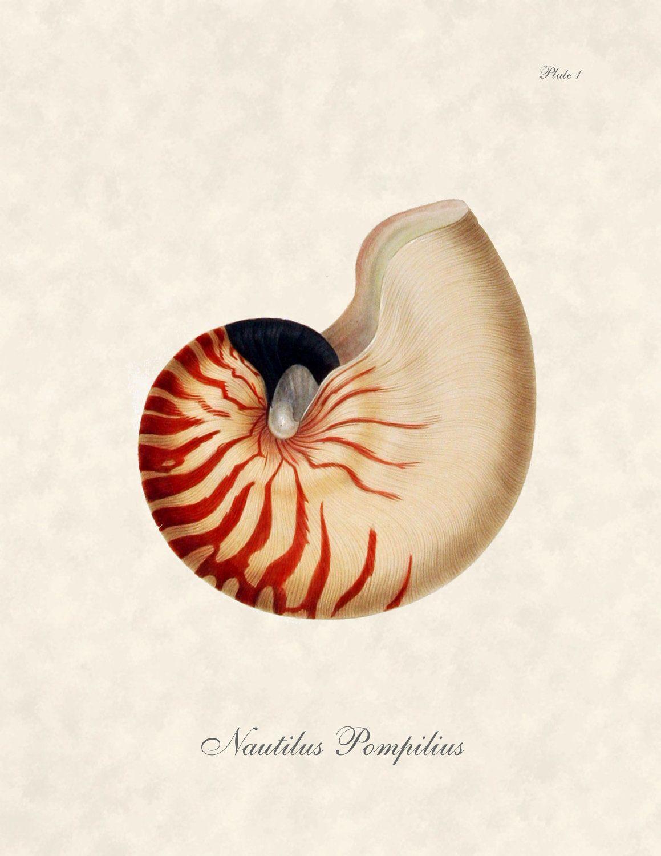 Nautilus Pompilius. Vintage color illustration.