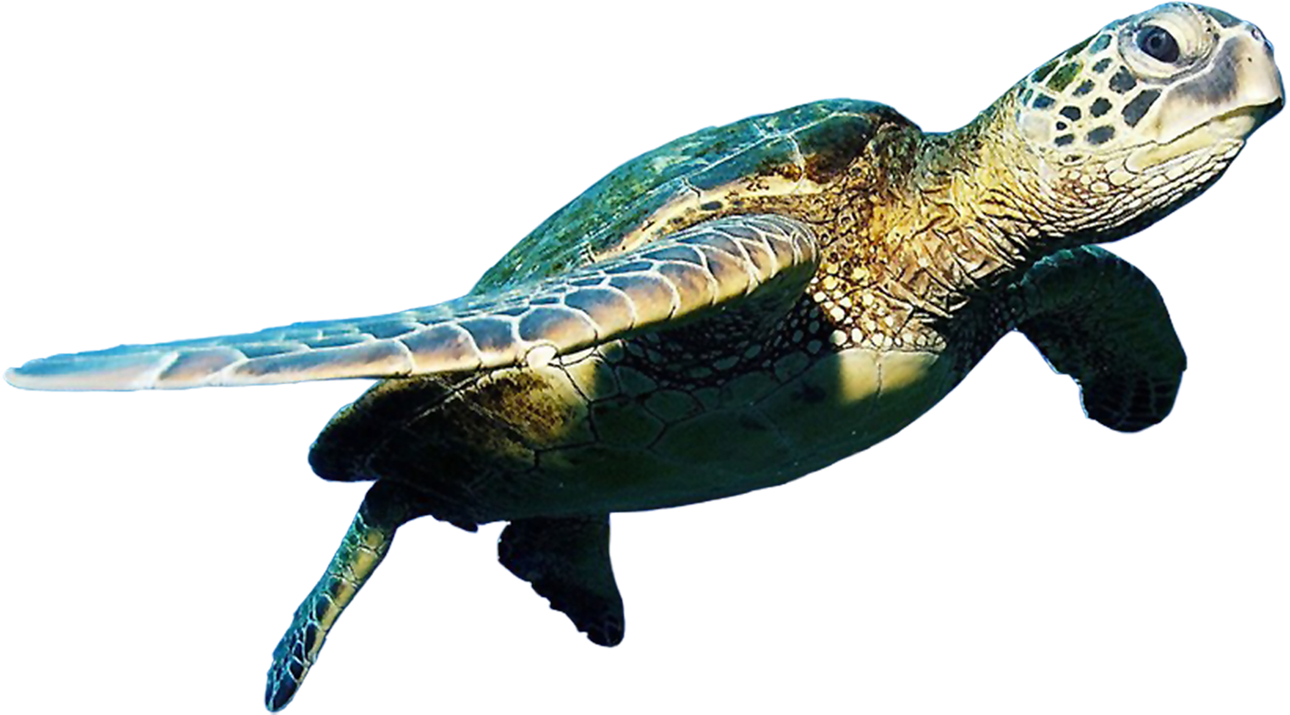 Sea Turtle Clip Art Turtle Png Image And Clipart