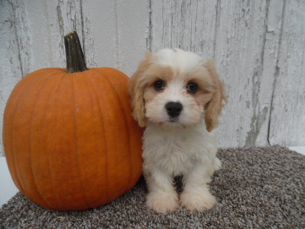 Travis the Cavachon is Looking for his Furever