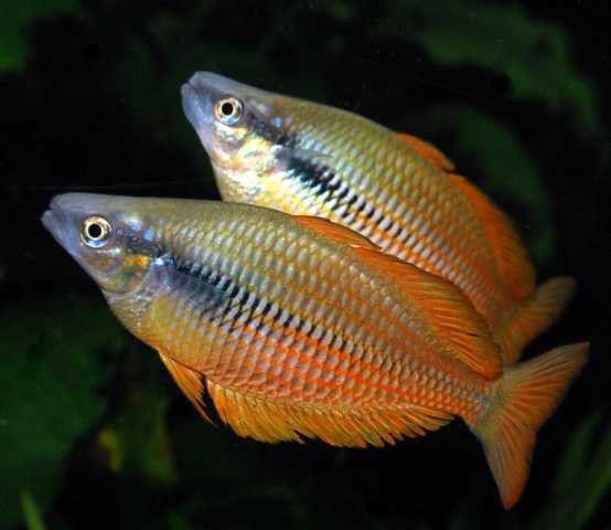 Melanotaenia parva dirk godlinkski rocking rainbowfish for Freshwater rainbow fish