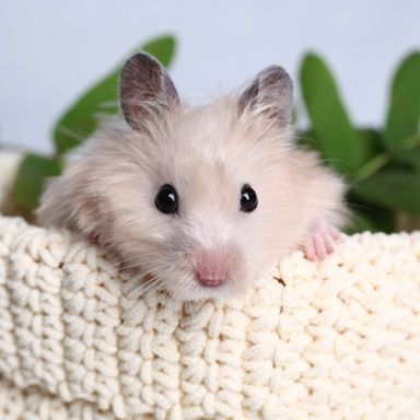 """Hamsters and guinea pigs can be great """"starter pets"""" for"""