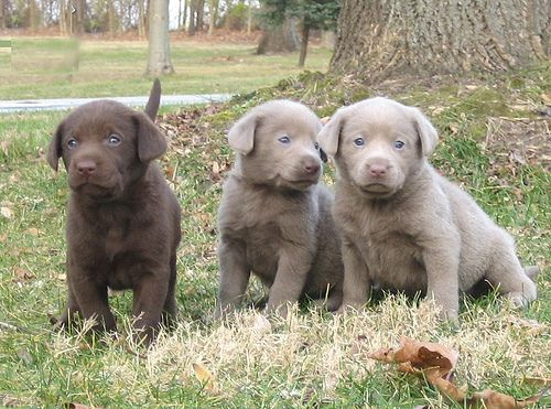 Silver Chocolate Labrador Retriever Puppies 5 Weeks Old Via Flickr Labrador Retriever Chocolate Labrador Retriever Labrador Retriever Puppies