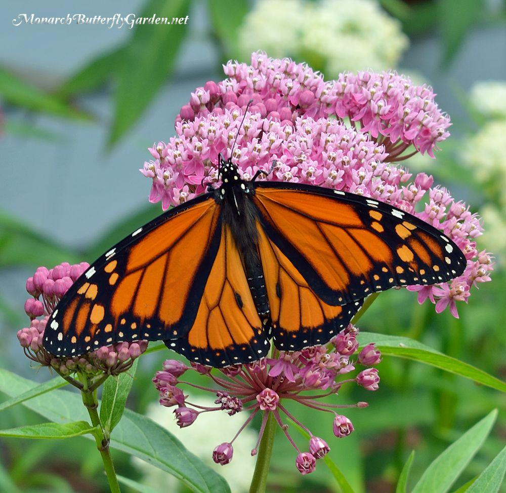 Asclepias Incarnata Swamp Milkweed for Monarch