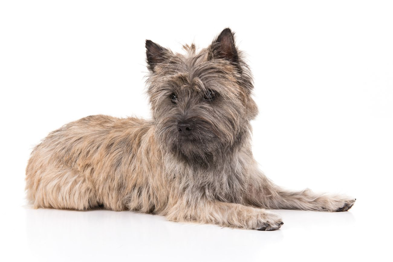 Cairn Terrier Dog Breed Information Cairn Terrier Terrier Dog