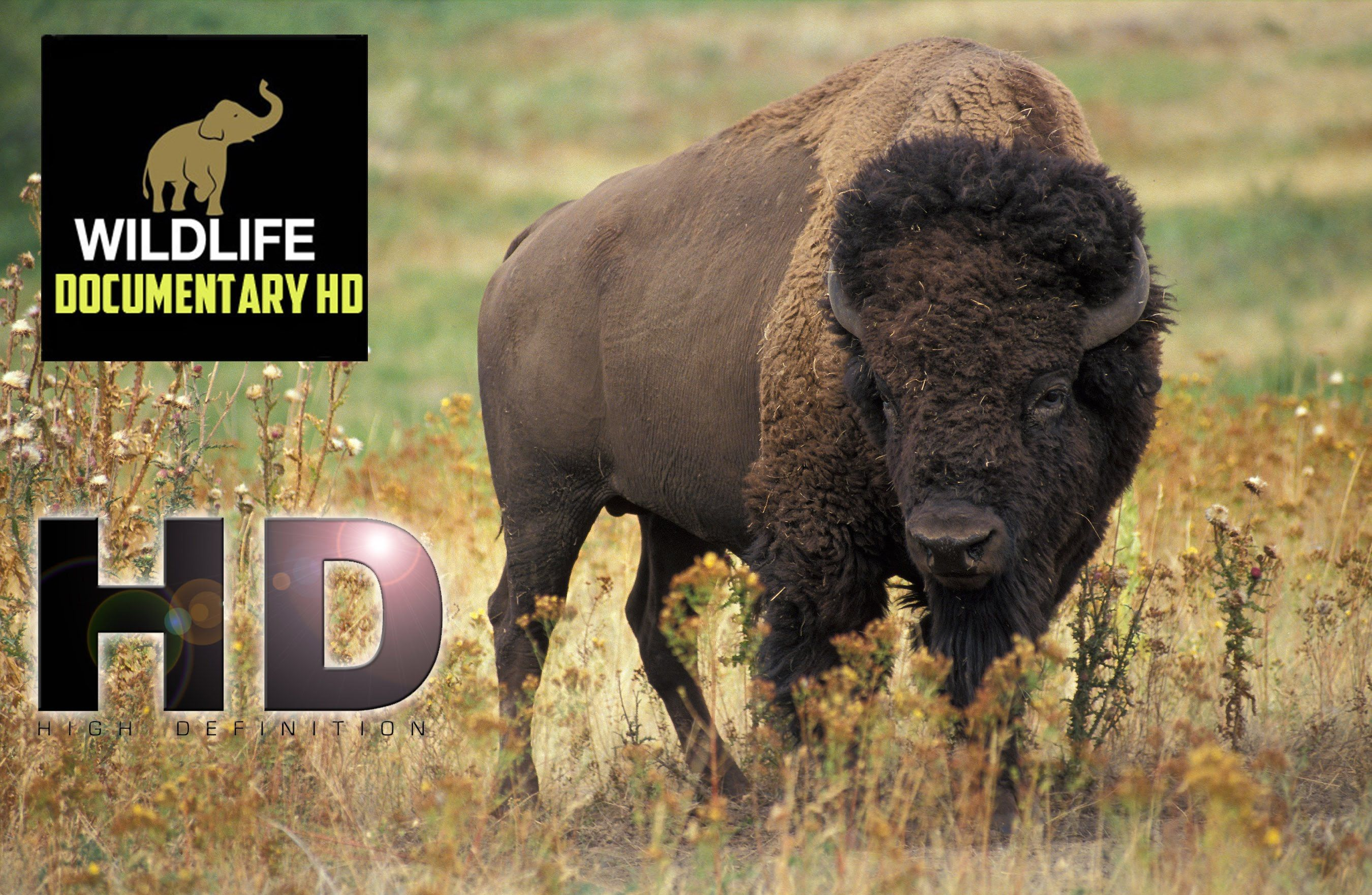 Buffalo Thunderbeast Wildlife Documentary HD American