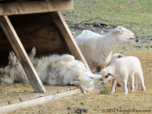 Wednesday dose of lamb cute (7 photo series) - it's lambing season on the farm! :)
