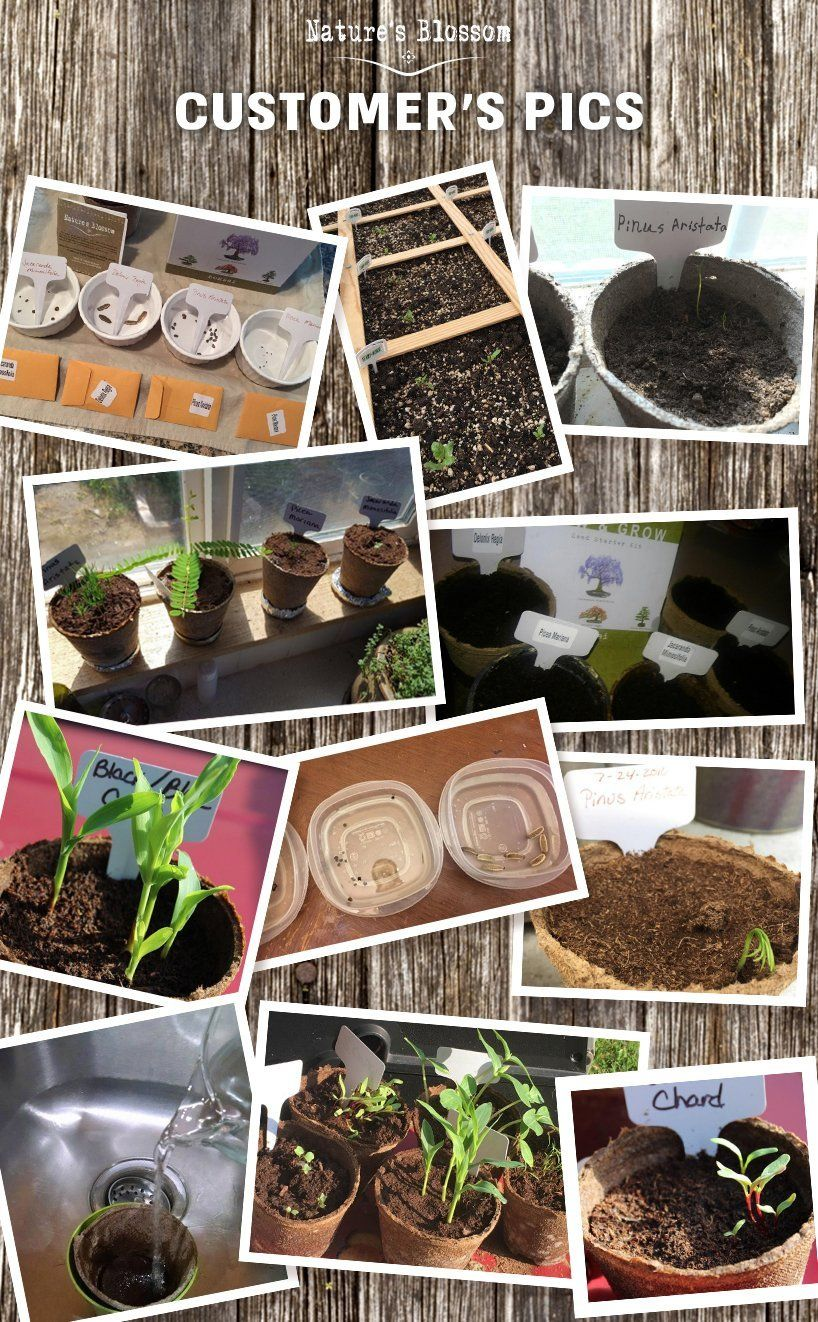Grow 4 Bonsai Trees With Nature S Blossom Growing Kit Soil Pots And Tree Seeds Are Included Plants Are Great Growing Vegetables Veg Garden Bonsai Tree Types