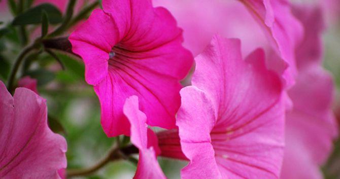 Petunias Petunias Flowers Bloom