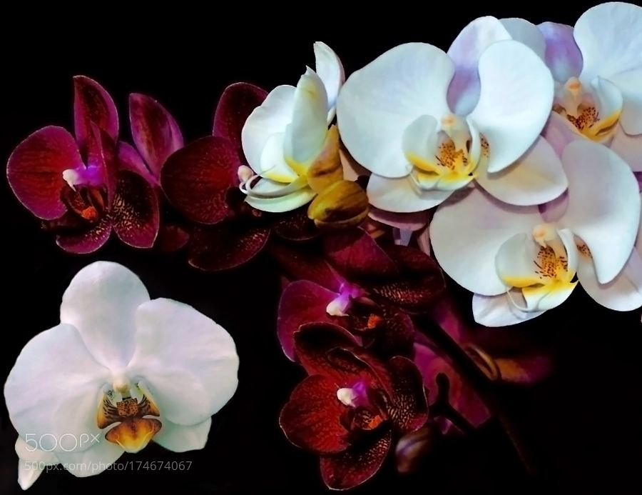ORCHIDS 2016 P21 by APetrin. @go4fotos