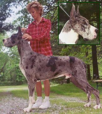 Michaeldane Jaybee Great Danes Stud Dogs Merle Great Danes