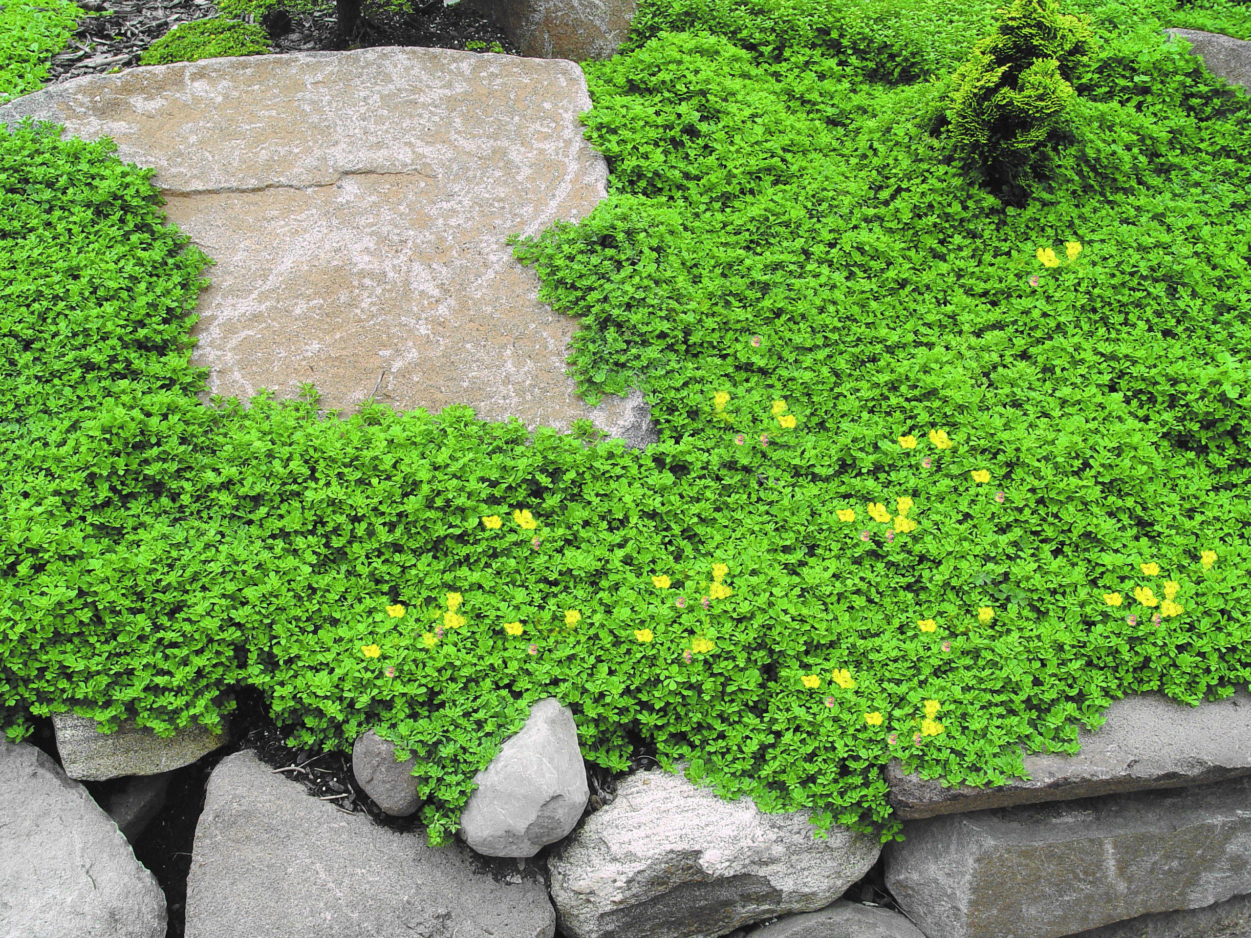 These Plants Like To Be Walked On Ground Cover Seeds Lawn Alternatives Ground Cover Plants