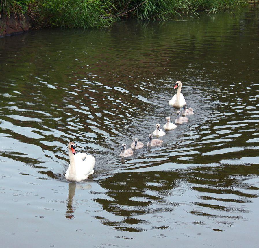 swan family love