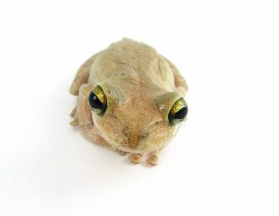 Cuban Tree frog for sale