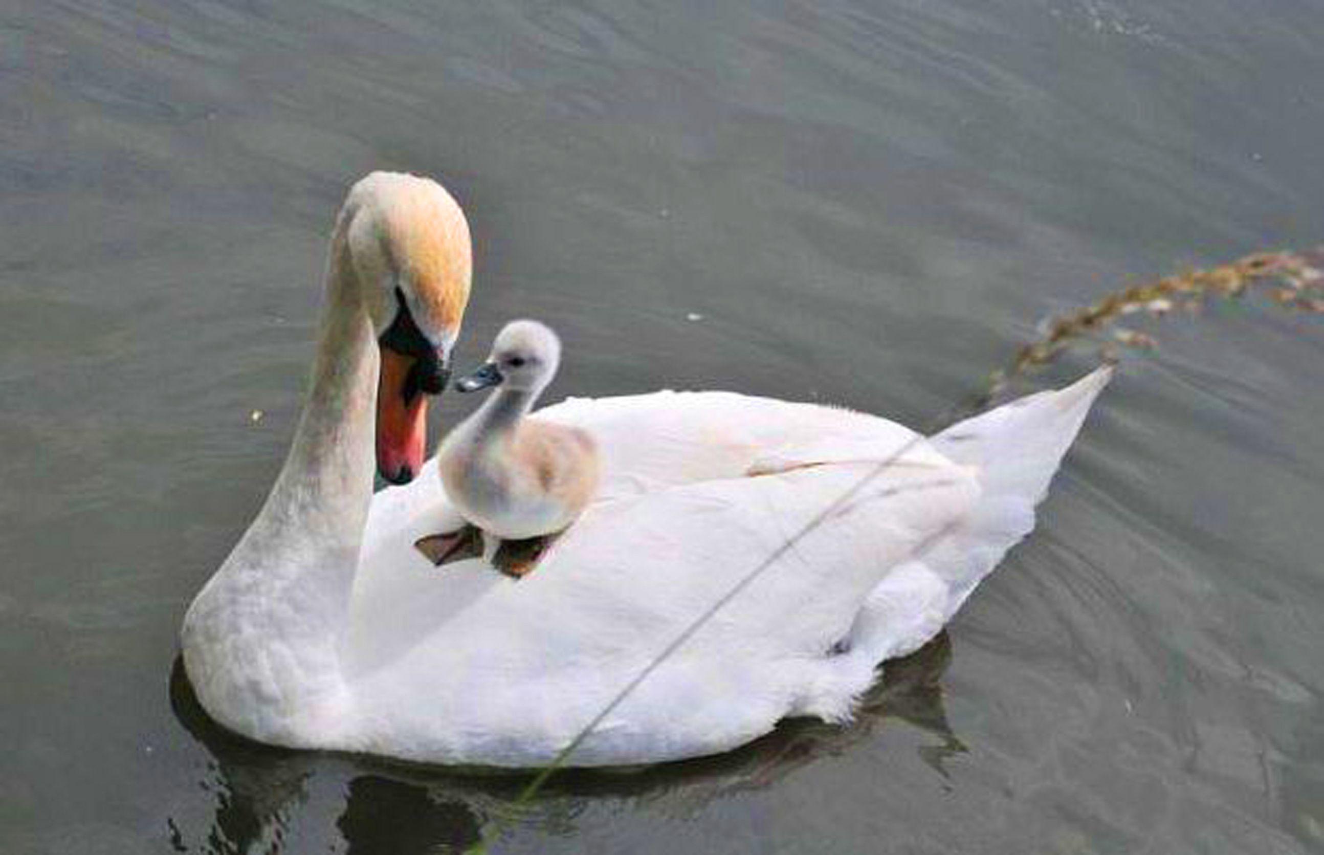 Маму в картинках у лебедей