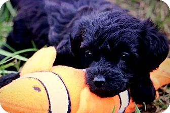 Bichon Frise/Poodle (Miniature) Mix Puppy for adoption in