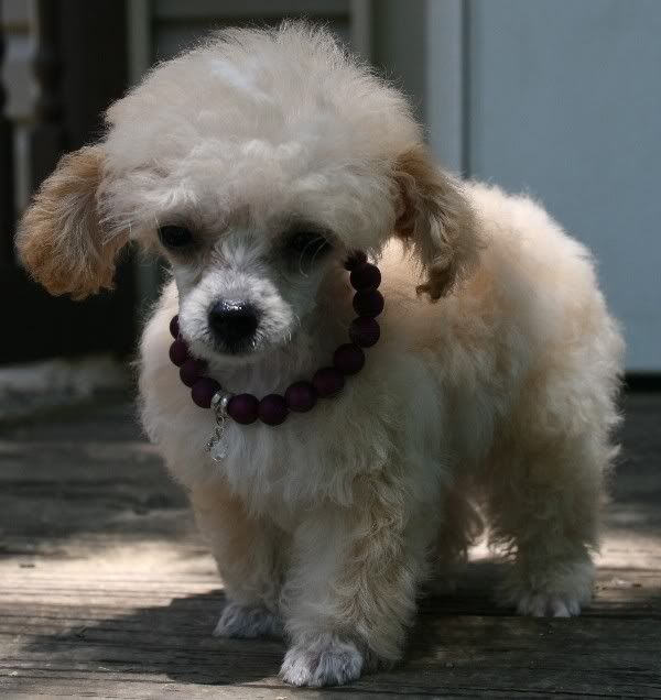 Pin By Holmden Hill On Pets Tea Cup Poodle Poodle Super Cute