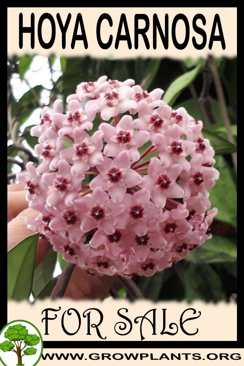 Hoya Carnosa For Sale All Need To Know Before Buy This Plant Tips